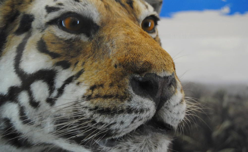 tigre imbalsamata